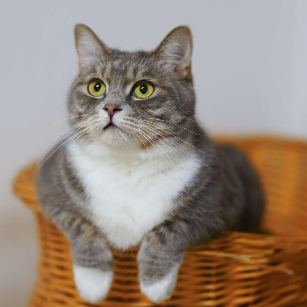 Grey and white cat in basket