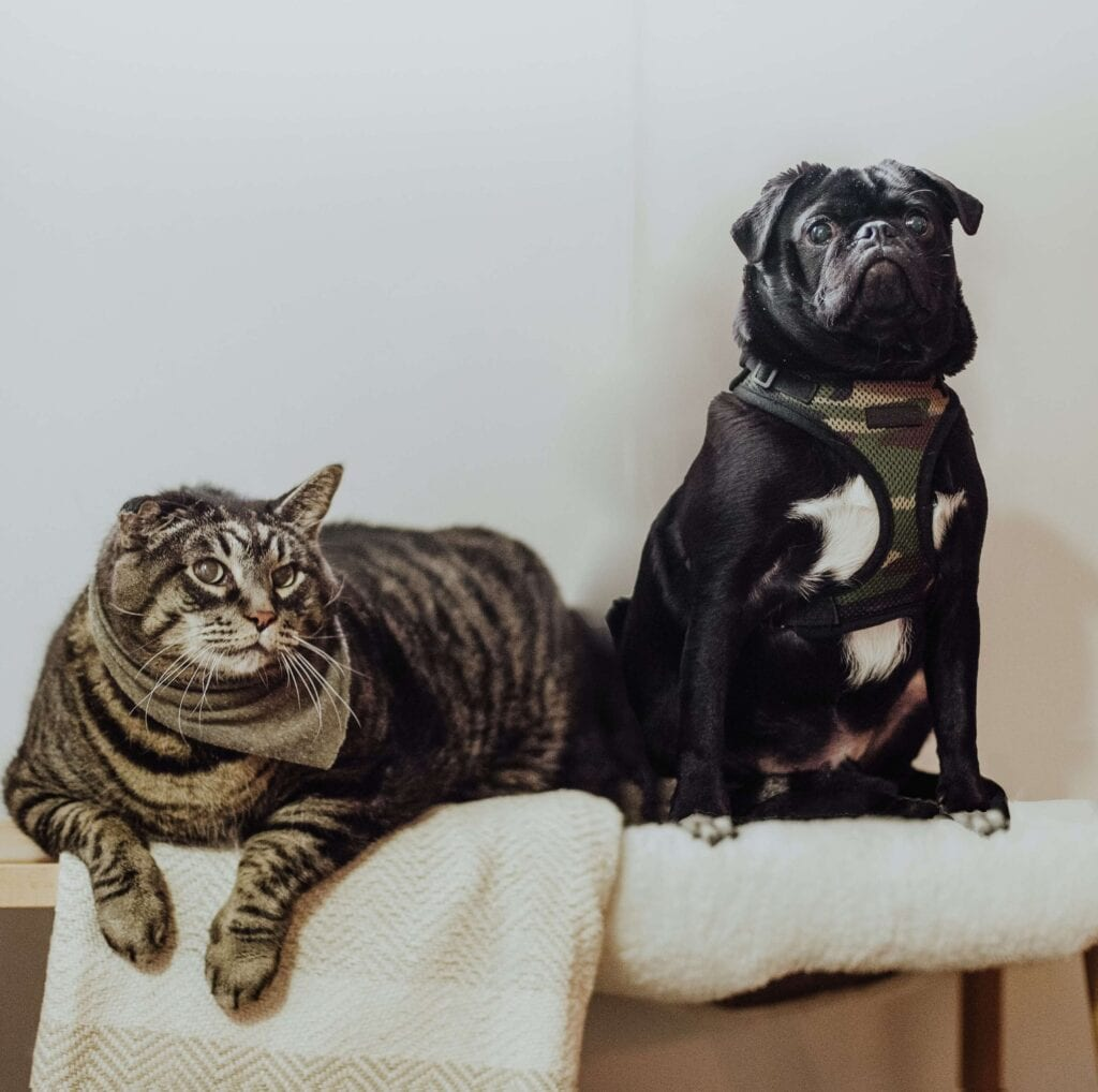 Black pug and grey cat on white blanket