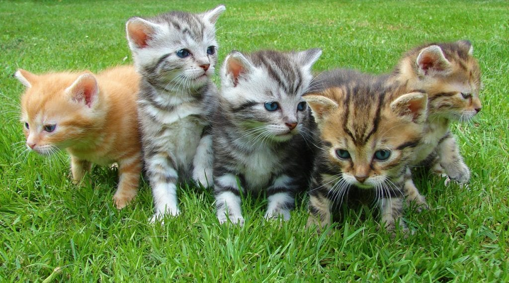 Different colored kittens. Spot differ from Trupanion