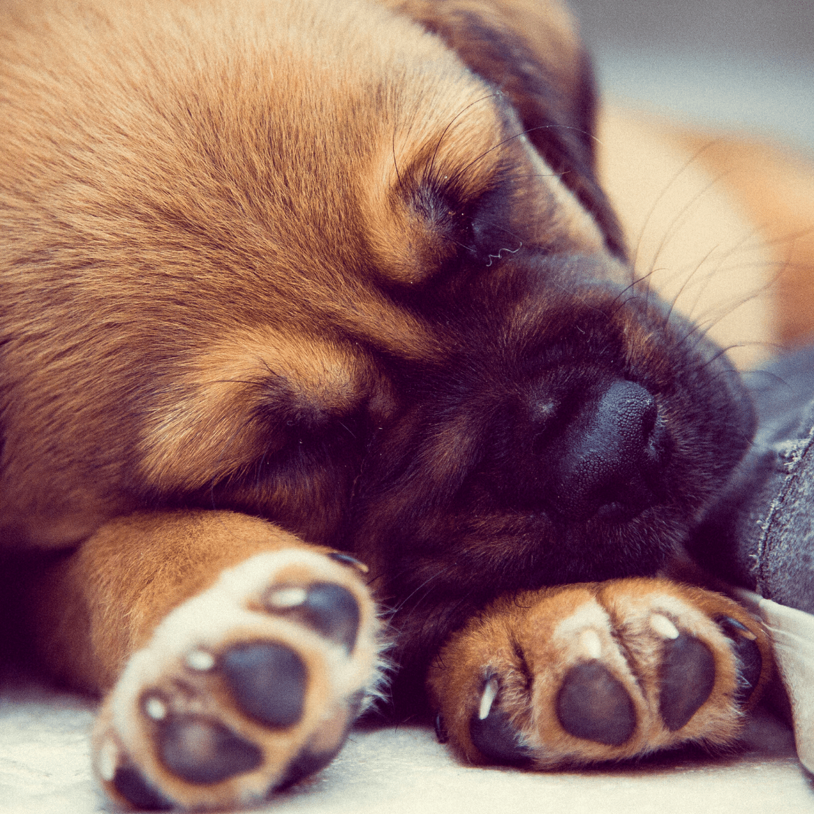 healthy pet paws