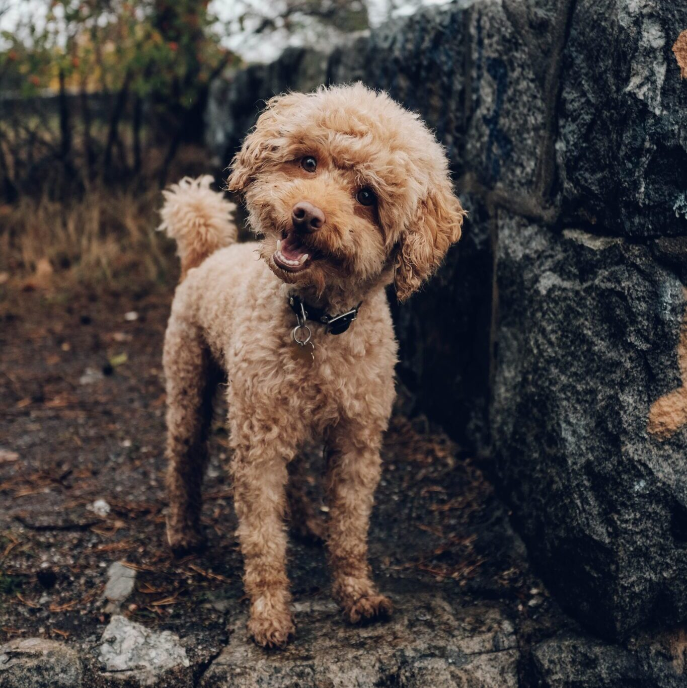 Poodle Mix Dog in Yard