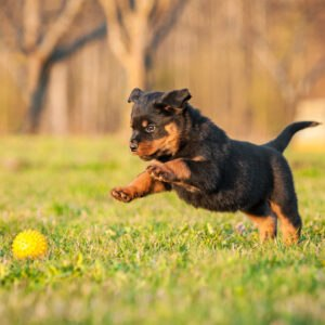 Puppy chasing ball in field