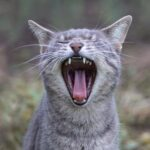 Yawning Cat Showing Teeth