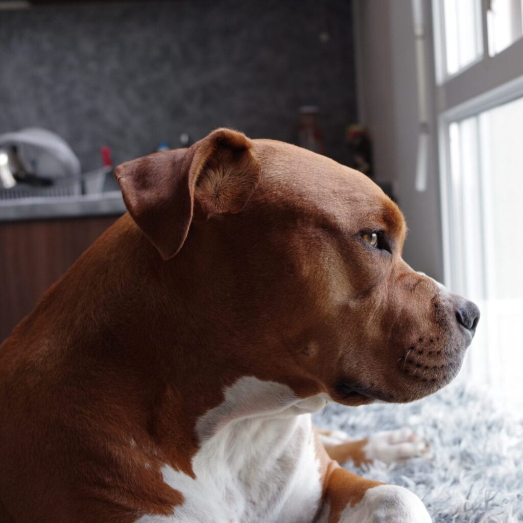 Pit Bull looking out window