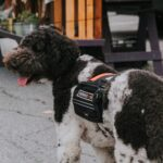 Service dog in vest outside