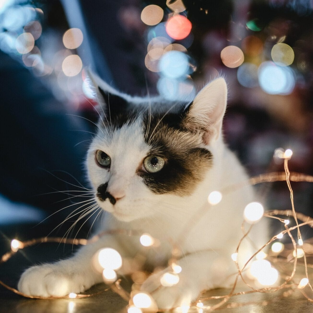 Cat and string holiday lights