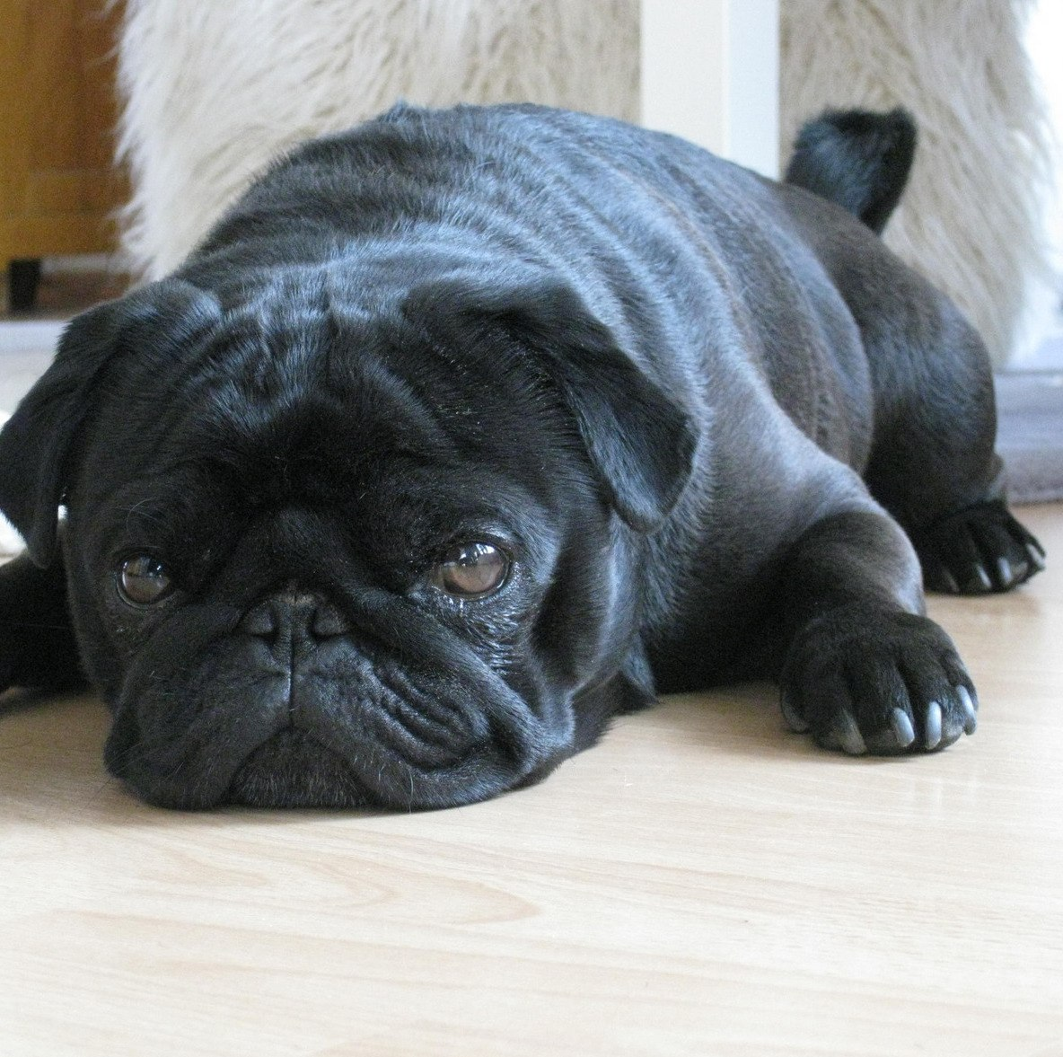 Black pug laying on the ground