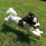 Havanese Dog Running in Grass