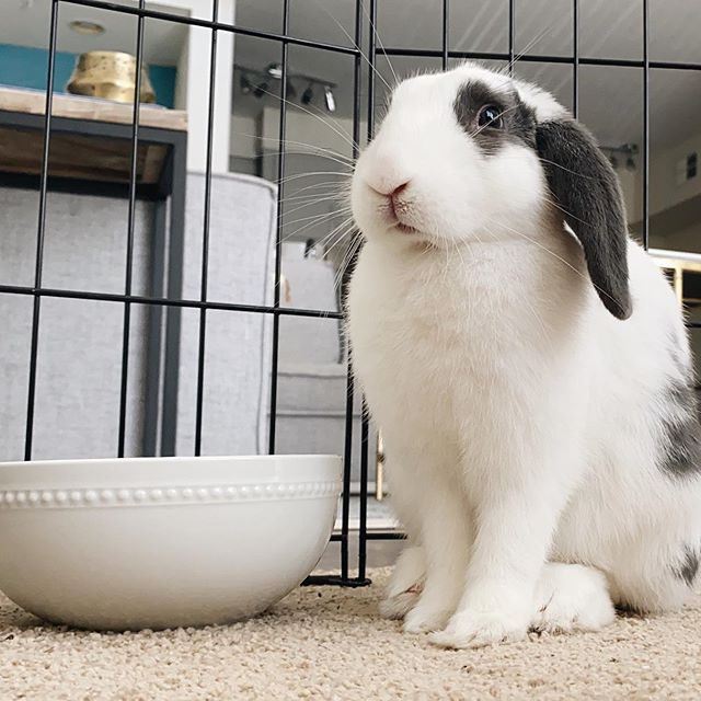 Black and white lop bunny