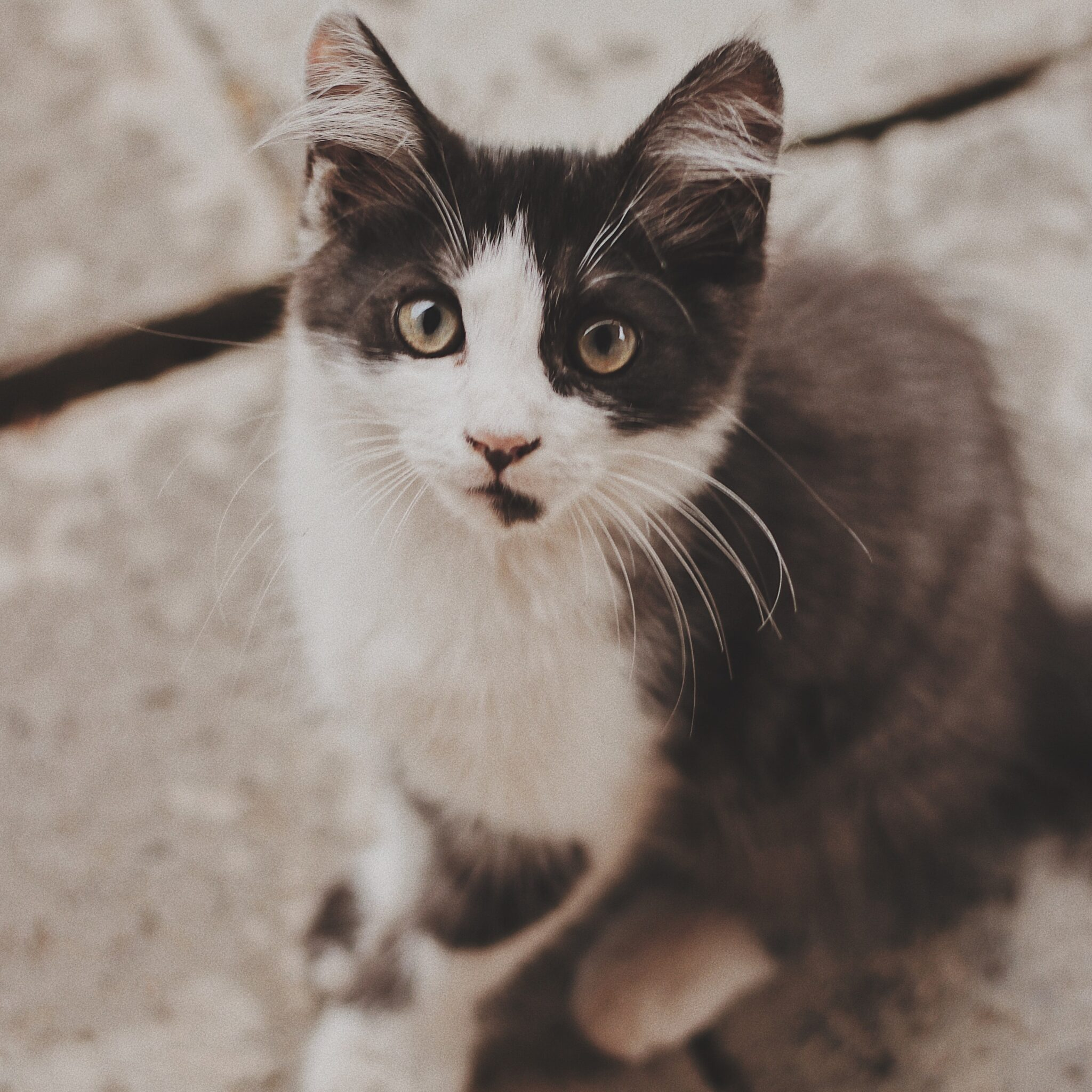 Grey and white kitten looking up at camera