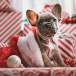 Puppy French Bulldog in Christmas Hat