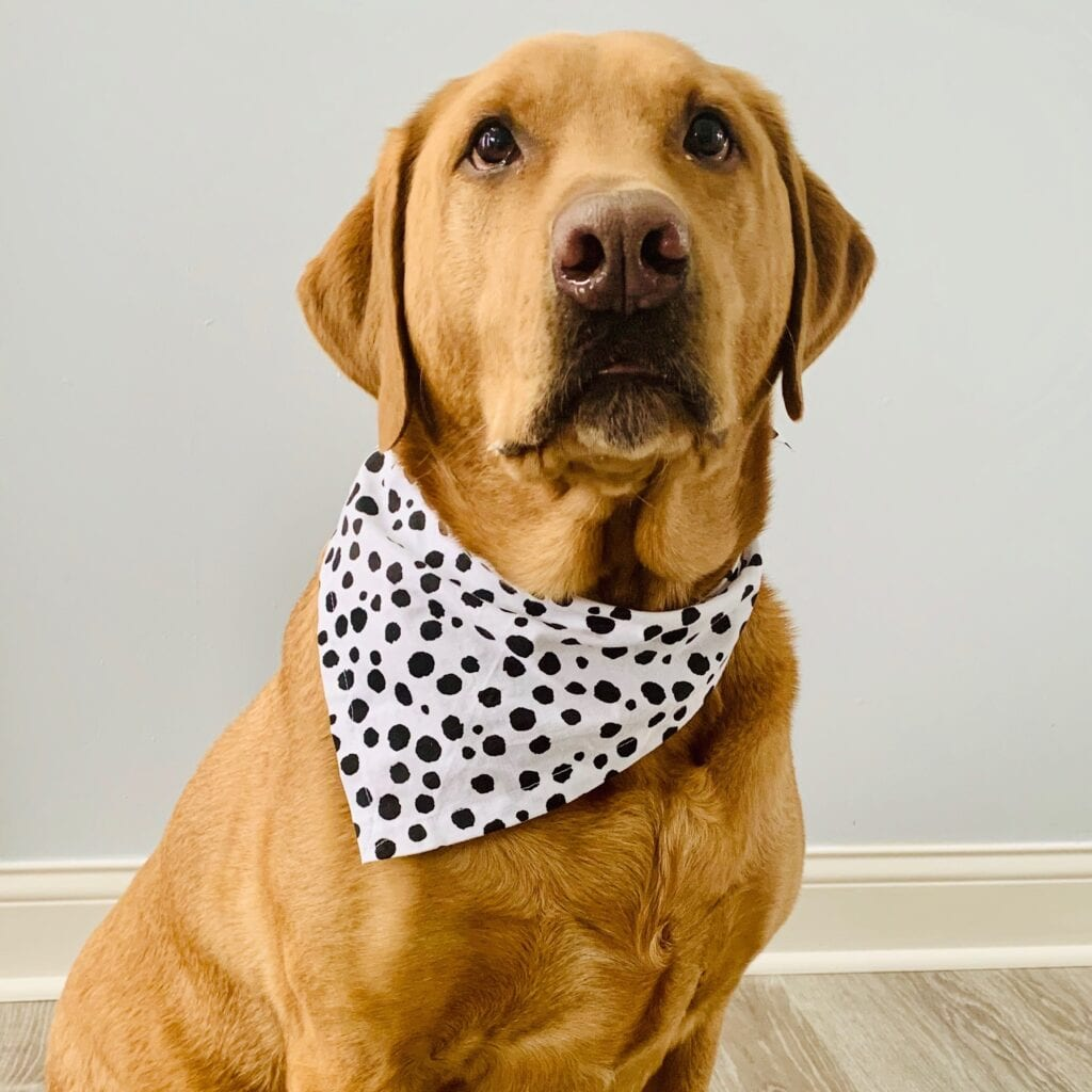 Yellow Lab in spotted bandana