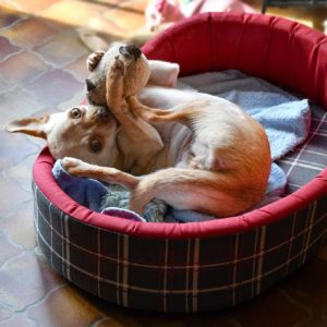 Chihuahua with toy in dog bed