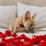 French Bulldog on bed with rose petals