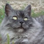 Close-up grey Siberian Cat