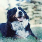 Bernese Mountain Dog laying in the grass
