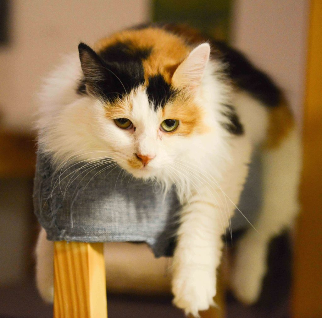 Calico cat laying on cat post