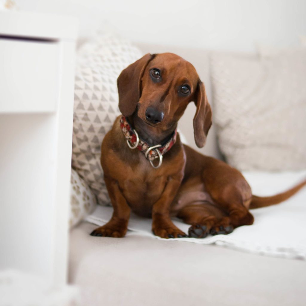 Daschund on White Furniture