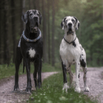 Two Great Danes outside