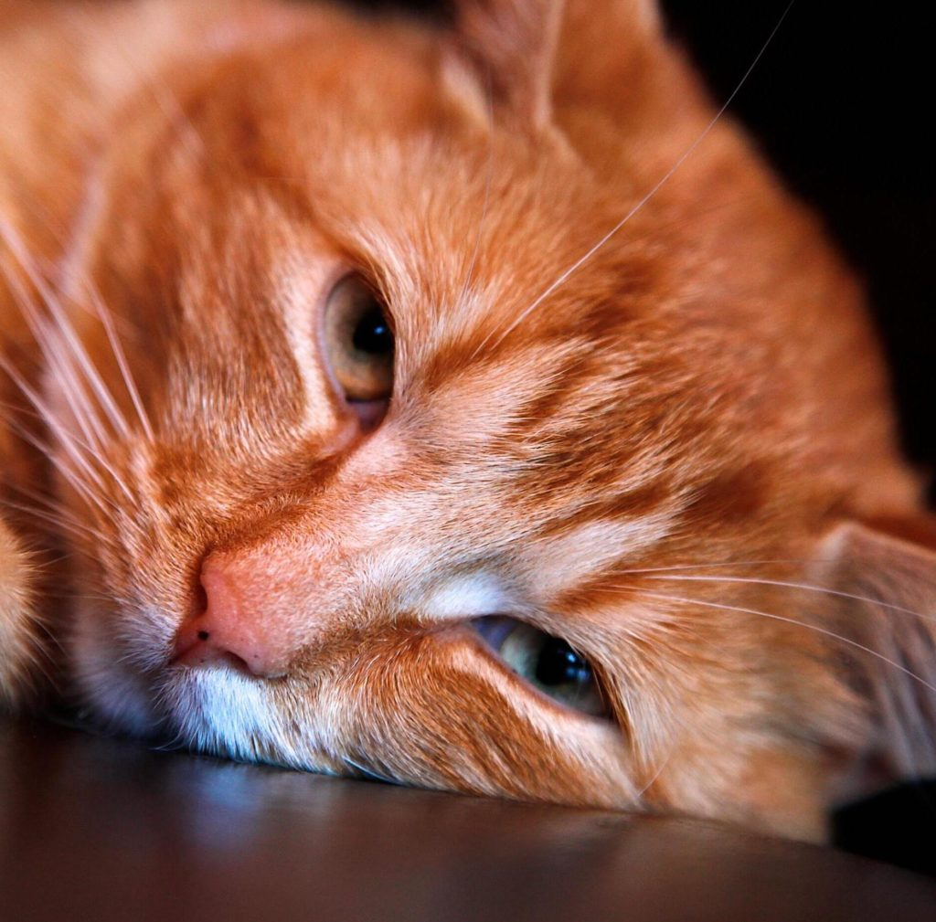 Close-Up of Orange Cat Laying on Floor