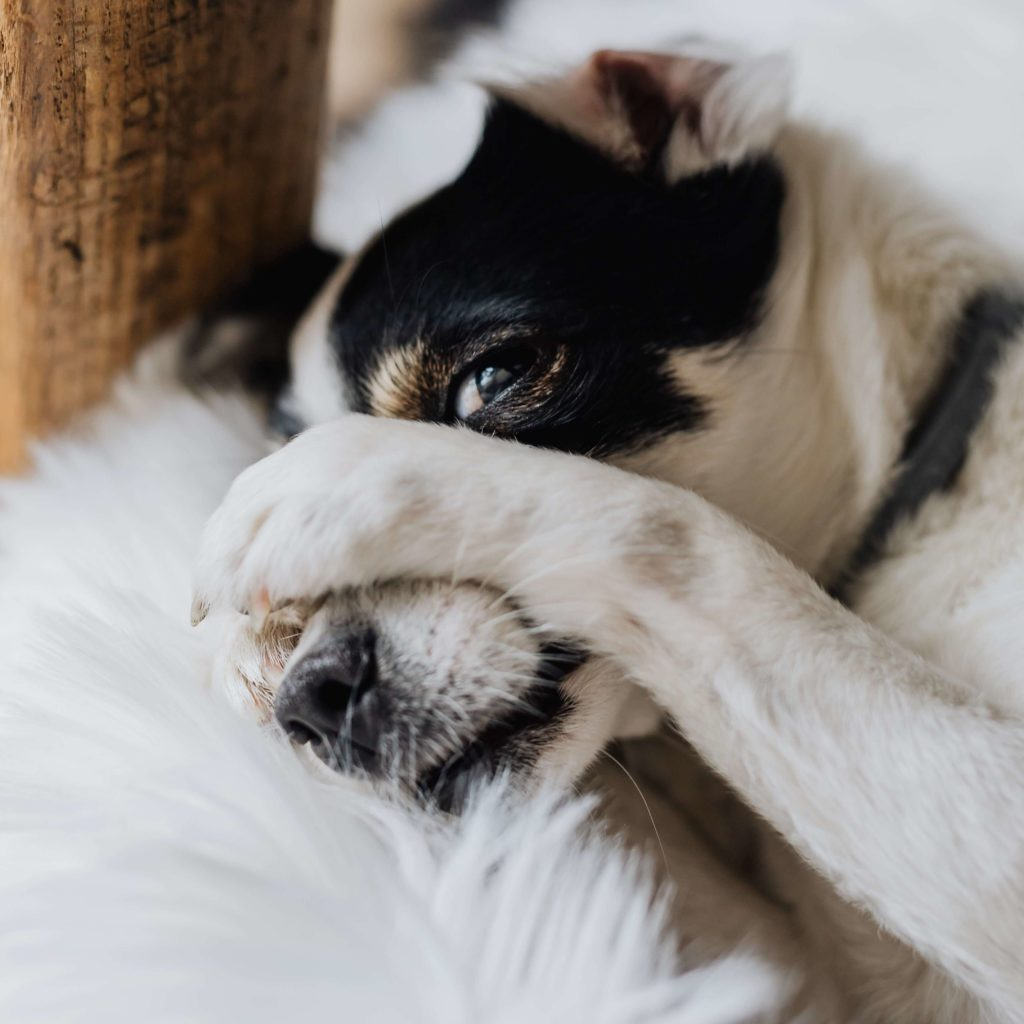 Dog with paws over his face