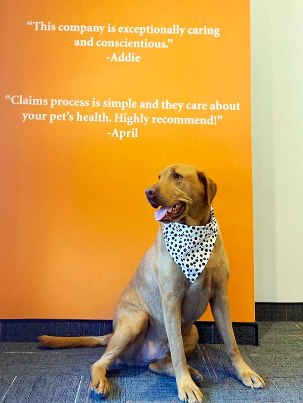 Yellow Lab in front of orange wall