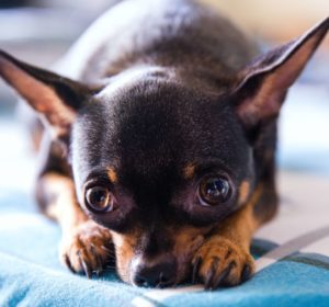 Black and Brown Chihuahua with head between paws