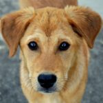 Close-up of Golden-colored dog
