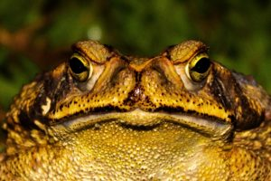frogs and toads poisonous to dogs