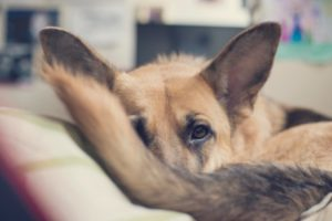 What Is Limber Tail Syndrome