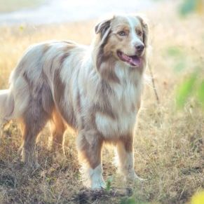 Australian Shepherd Outside