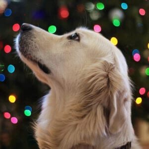 Golden Retriever and Christmas Lights