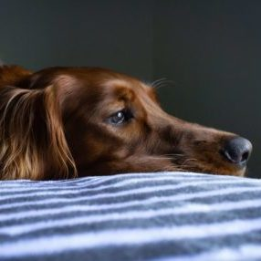 Close-up Dog on Bed