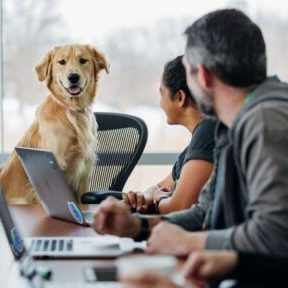 Golden Retriever sitting at table at work
