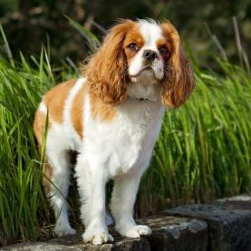 Cavalier King Charles Spaniel in Nature