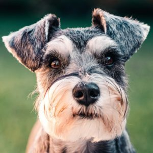Mini Schnauzer Close Up