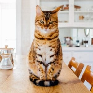 Spot-Pet-Insurance-Blogbowl-May-2020-Spot-Pet-Insurance-Blogbowl-My Cat Scratches Everything-featured-image