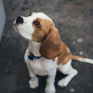 Beagle Sitting on Sidewalk